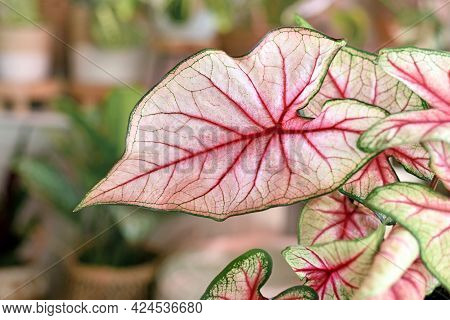 Close Up Of Exotic Leaf Of  Houseplant With Botanic Name 'caladium White Queen'  With Pink And Green