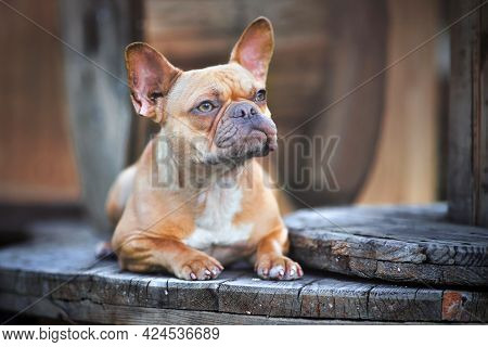 Beautiful Red Fawn French Bulldog Dog Lying Down Between Wooden Industrial Cable Drums