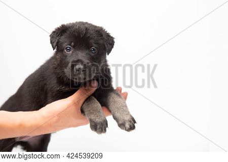 Man Holds Little Cute German Shepherd Puppy On Hand On White Background With Copy Space. Veterinary