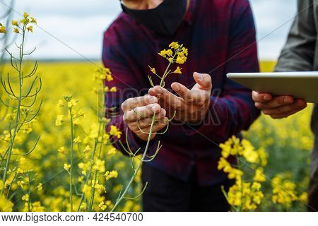 Farmer's Hands On Rapeseed Blooming Plants. Agronomists With A Tablet In Their Hands. Smart Farm, Te