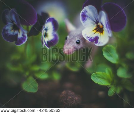Hairless Mouse In A Garden With Pansies