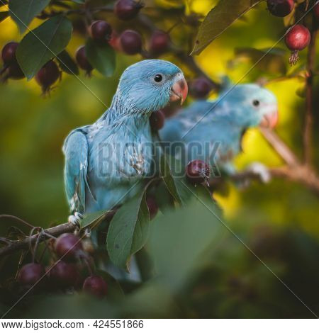 Two Blue Rose-ringed Or Ring-necked Parakeets On The Branch In Summer Garden