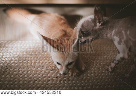 Peruvian Hairless And Chihuahua Mix Dog Licks A Fennec Fox