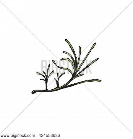 Wild Green Grass Of Desert, Bush Of Creeping Plant, Camel Thorn Or Tumbleweed.