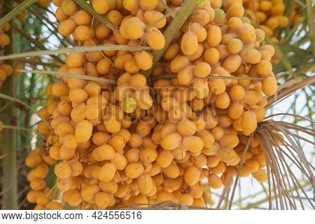 Yellow Fresh Ripe Dangling Dates On Date Palm. Bunch Of Ripe Golden  Fruits Date On A Date Palm Tree