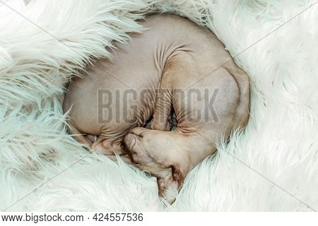 Canadian Hairless Sphynx Cat Is Fast Asleep, Curled Up In A Ball.