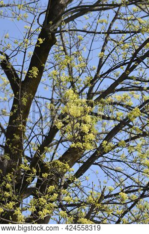 Norway Maple Branches With Flowers - Latin Name - Acer Platanoides
