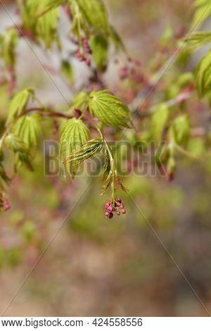 Japanese Maple - Latin Name - Acer Palmatum