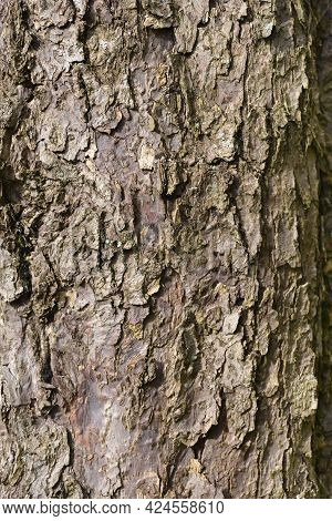 Handkerchief Tree Bark Detail - Latin Name - Davidia Involucrata Var. Vilmoriniana