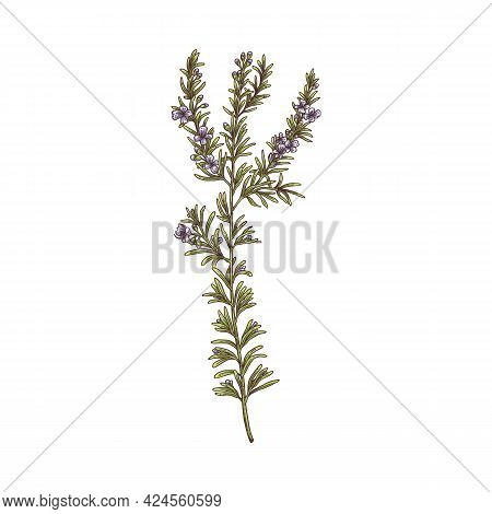 Rosemary Branch Drawing, Green Herb Plant With Blooming Flowers