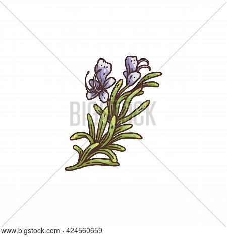 Blooming Rosemary Sprig With Flower Engraving Vector Illustration Isolated.