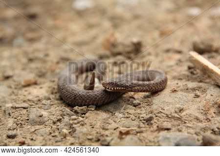 European Viper Is A Venomous Snake That Is Extremely Widespread