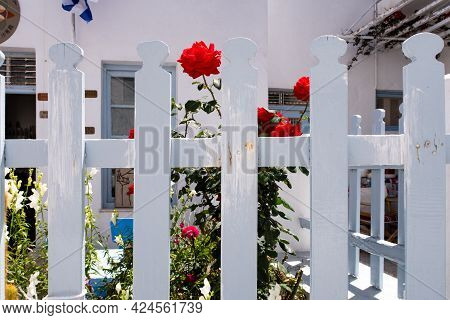 Typical Snow-white Wooden Fence With Blooming Red Roses And Plants Behind In Plaka Town On Milos Isl