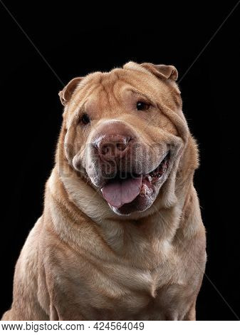 Shar Pei On Black Background. The Dog Smiles, Funny Face