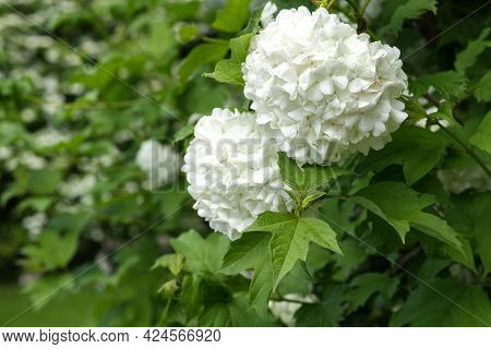 Large White Buds With Small Petals Of A Viburnum (boule De Neige) Garden Bush, Among Many Green Leav