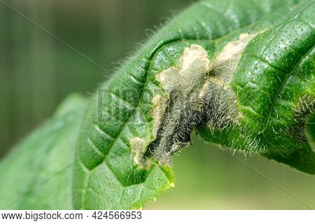 A Darkened And Yellowed Spot On A Green Cucumber Leaf From Viral And Bacterial Diseases. Damage To T