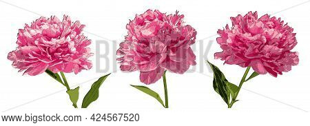 Set Of Three Peonies Flowers Papercut 3d With Shadows. Eps10 Vector Illustration Isolated On White B
