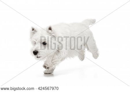 Portrait Of Cute White Beautiful West Highland Terrier Running Isolated On White Background