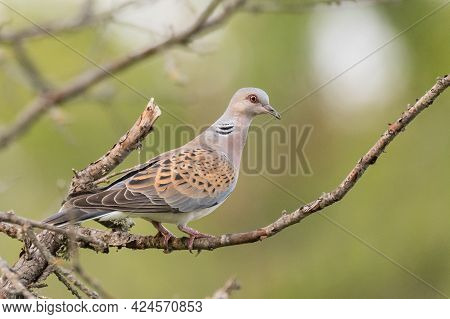 Collared Dove Streptopelia Turtur, Sitting On A Stick In The Wild.