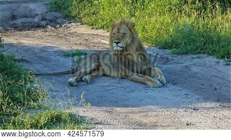 An Adult Wild Lion Lies On A Dirt Road. The Head Is Raised. The Look Is Attentive. Traces Of Car Tir