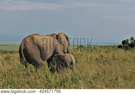 The Mother Elephant Feeds Her Little Cub With Milk. In The Endless Savannah, Tall Yellowed Grass. Bl