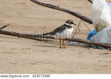 Small Gray Bird Big-billed Plover On A Sandy Beach. Greater Sand Plover-charadrius Leschenaultii