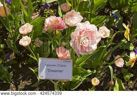 Tulips Of The Dreamer  Species On A Flowerbed.