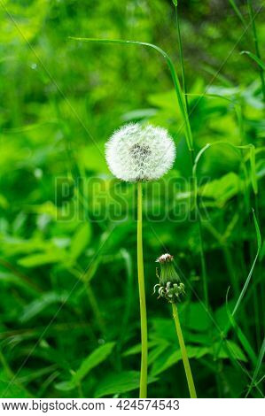 Fluffy White Dandelion Surrounded By Green Grass
