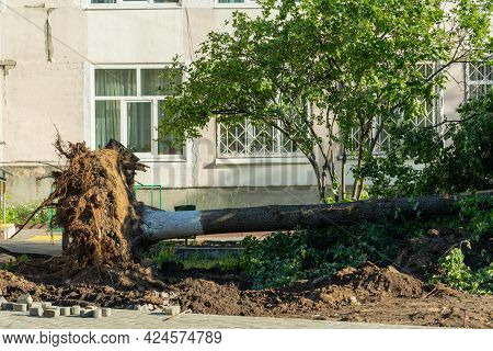 A Tree That Fell During A Hurricane. Huge Roots Of A Fallen Linden Tree. Russia