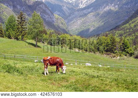 Cows Grazing On Alpine Pasture. Grass Finished Beef. Happy Cattle In Nature.