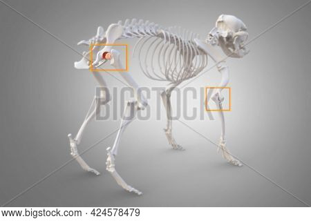 Canine Arthritis and Osteoarthritis joint inflammation, deterioration of joint in dogs, hip and elbow marked, 3d illustration