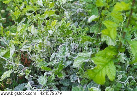 The Plant Is Strongly Affected By The Aphid Pest And Is Covered With A White Coating.