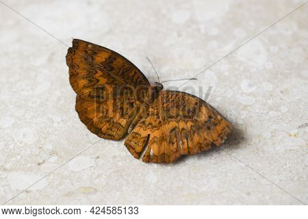 Beautiful Ariadne Merione Butterfly Also Known As Common Castor, Full Open Winged Organge Colour Wit