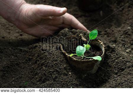 Gardeners Hand Panting Vegetable Seedlings Grown In Peat Pots
