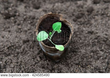 Cabbage Seedling In Peat Pot Standing On The Ground Before Planting