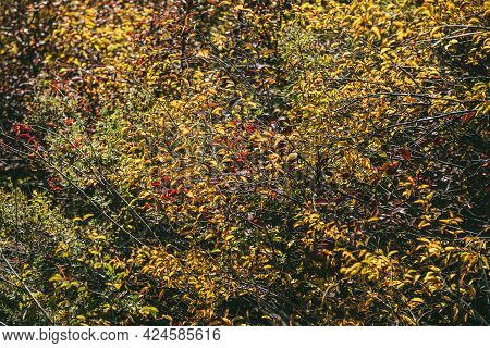 Autumn Sunny Nature Background With Multicolor Foliage In Golden Sunshine. Full Frame Of Wild Thicke