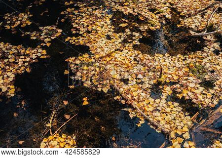 Autumn Yellow Leaves Float In Shallow Backwater In Golden Sunshine. Yellow Autumn Leaves On Water Su