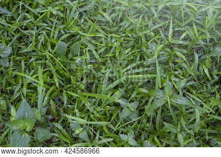 Morning Dew On Green Grass In Sunny Weather Green Leaf Background Water Drops On Tree Spring Fresh G