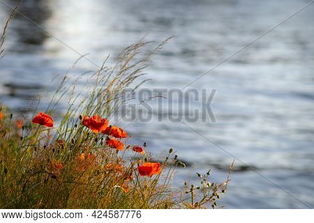 Red  Poppies And Grass Near The Canal In The Sunset