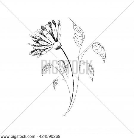 Vector Drawing Flowers Hand-drawn Chamomiles, Daisies. Jerusalem Artichoke Flower. Botanical Drawing
