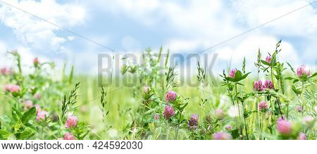 Horizontal Spring Banner With Pink Clover Flowers In The Meadow. Summer Background With Wildflowers.