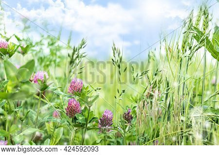 Blooming Clover In Spring, Summer Background With Wildflowers Of Clover In The Meadow. Beautiful Nat