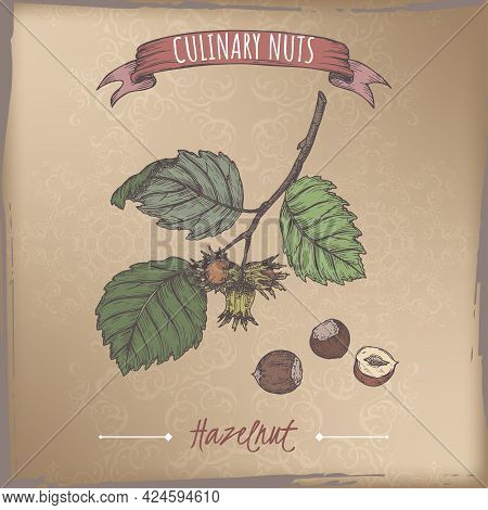 Corylus Avellana Aka Common Hazel Branch And Nuts Color Sketch On Vintage Background. Culinary Nuts