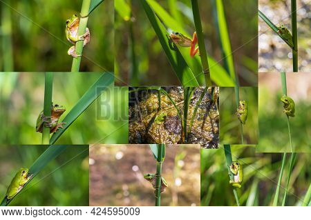 Tree Frog - Hyla Arborea - Green Frog On A Reed Stem. More Photos Composed In A Collage.