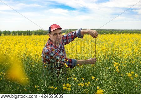 Middle Aged Caucasian Male Farm Worker Inspecting Canola Stalks With Measure Tape At Field Sunny Sum