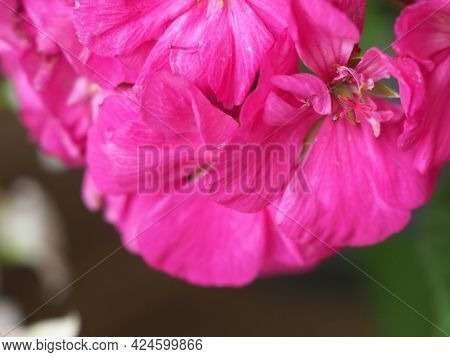 Geranium (geraniales) Plant Pink Flower