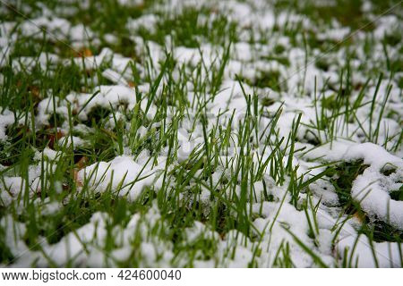 Snow Covered Green Grass. Green Grass Under The Snow. White Snow And Green Grass Background. Grass O