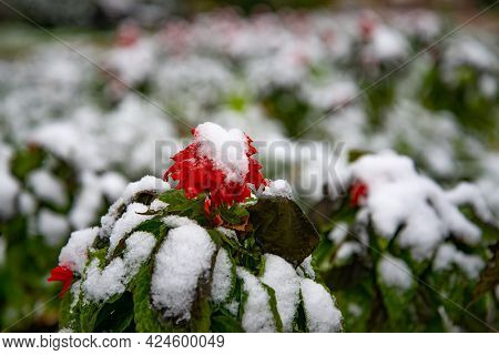 Bush With Green Leaves Covered With Snow. Snow Covered Leaves In Winter