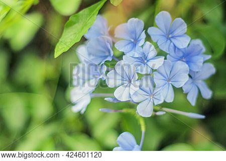 Closeup On Blue Cape Plumbago Auriculata Flower. Plumbagidium Auriculatum. Lam Flower. Blue Flower.