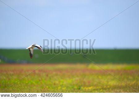 Single common shelduck flying in the blue sky